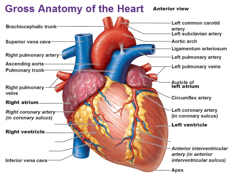 Gross Anatomy Of The Heart Anterior View Theladder